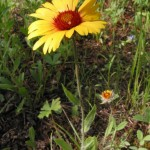 YO-Blanketflower - Gaillardia aristata